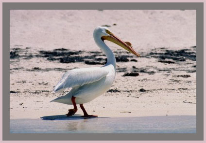 White Pelican strolling on the beach.